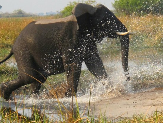 Wilderness Safaris Kings Pool Camp : Elephant crossing river