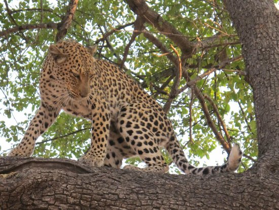 Wilderness Safaris Kings Pool Camp: Leopard before hunt