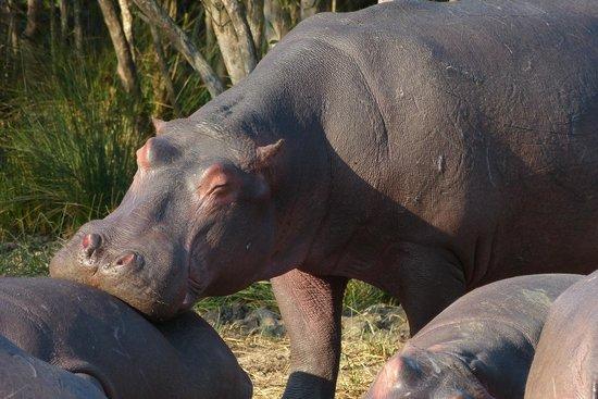 Parkers Cottages : Hippo (river tour)