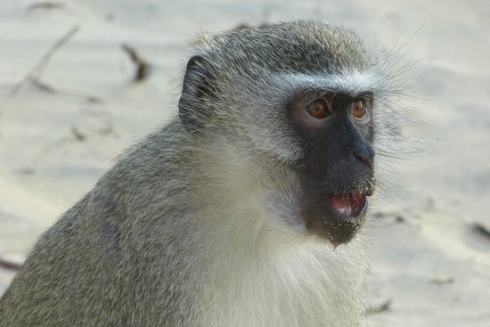 Parkers Cottages : Monkey at the beach