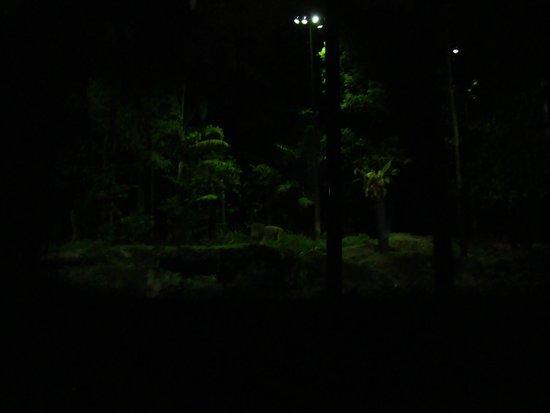 Night Safari : The Lion in the jungle