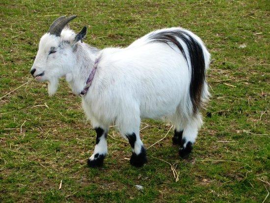 Barker Stakes Farm : Pygmy Goat