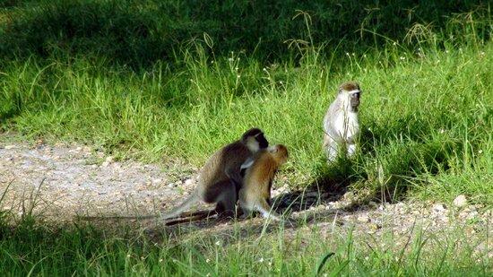 Murchison River Lodge: Spielende Affen