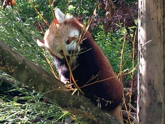 Dublin Zoo : Red panda