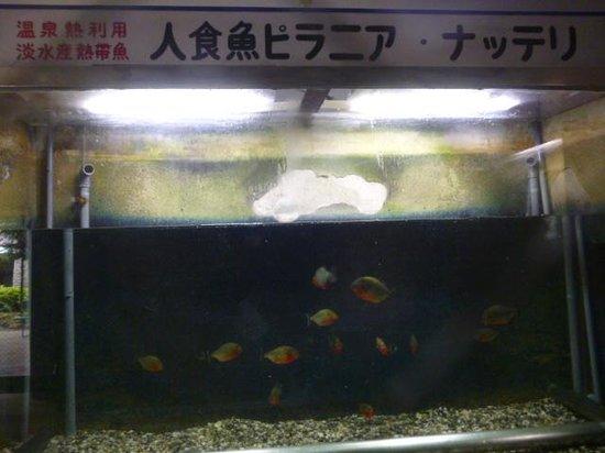 Hells of Beppu : ピラニア(白池地獄)