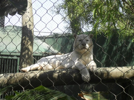 Majestical White Tiger Picture Of Siegfried Roy 39 S Secret Garden And Dolphin Habitat Las