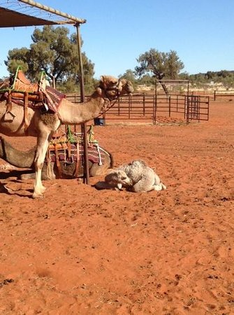 Kings Creek Station : Johntie the 1 mth old camel