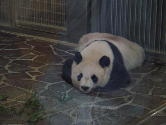Kobe City Oji Zoo: パンダだよ