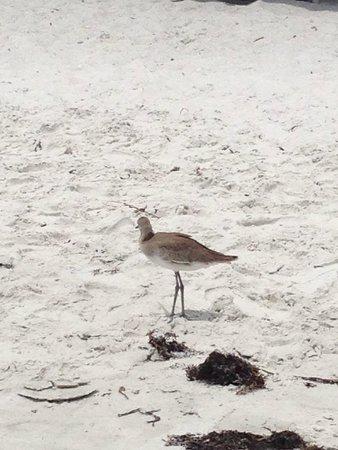 Doubletree Beach Resort by Hilton Tampa Bay / North Redington Beach: Sand Piper