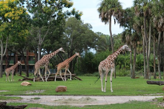 Disney's Animal Kingdom Lodge : View of the Savanna