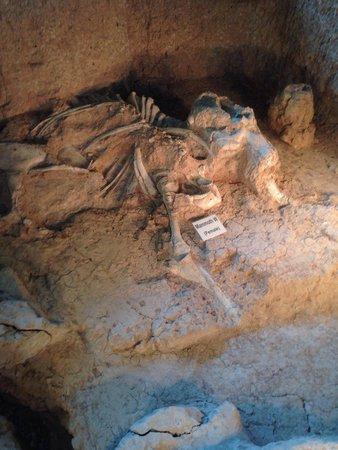 Waco Mammoth Site: A female mammoth