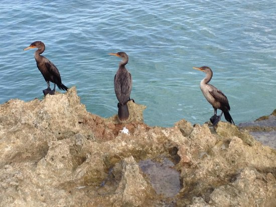 Blau Varadero Hotel Cuba: Cormorants on the beach