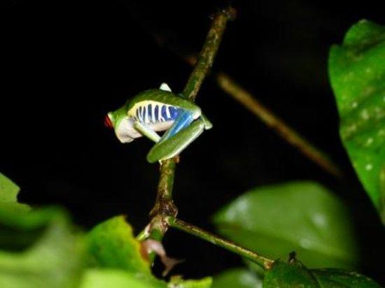 Posada Andrea Cristina: Leaf Frog