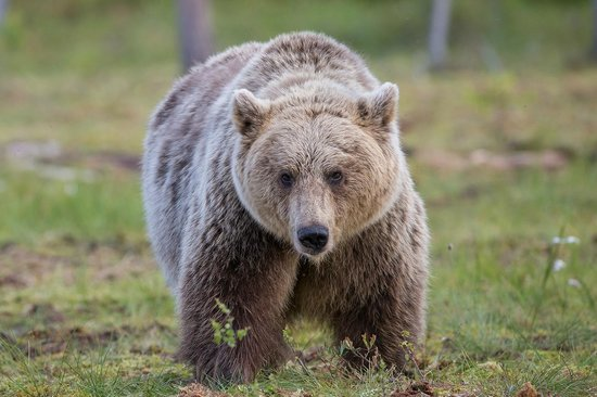 Martinselkosen Erakeskus: All about the bears