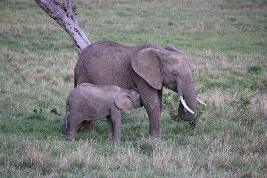 Julius Thuvi Safaris : Elephants in the Mara