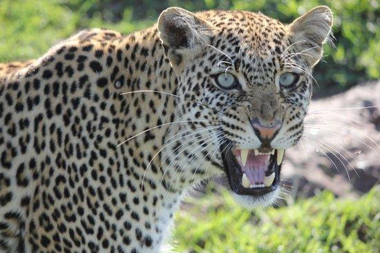 Julius Thuvi Safaris: Leopard up close in the Mara