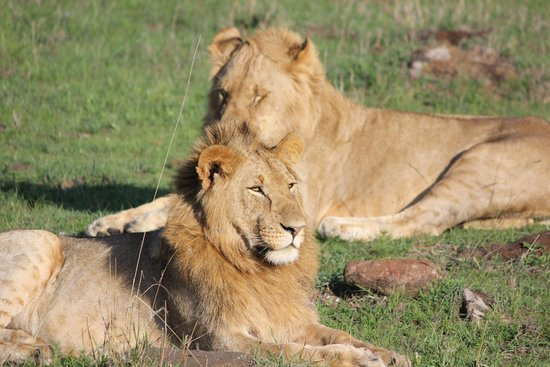 Julius Thuvi Safaris: Lions in the Mara