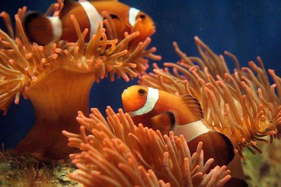 Acquario di Genova: Pesci pagliaccio