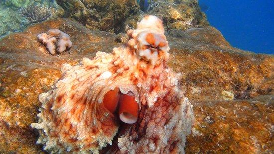 Vilamendhoo Island Resort & Spa: Octopus on house reef (south side)