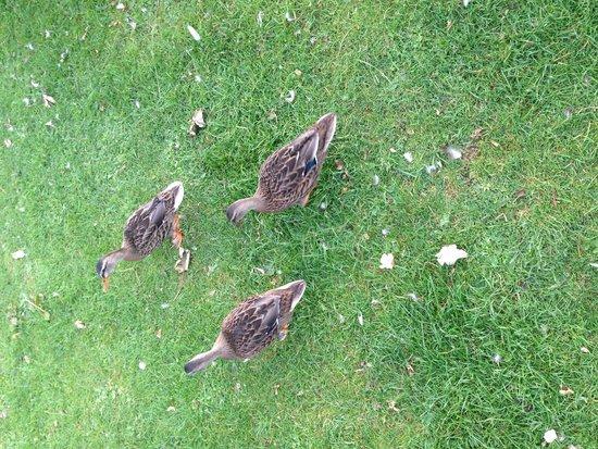Golden Coast Holiday Village: Ducks which my boy loved seeing everyday!
