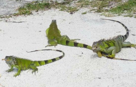 Hampton Inn Key Largo: Nachmittägliche Leguan-Fütterung am Hotelstrand