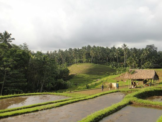 Bali Eco Stay Bungalows: Surrounding ricefields