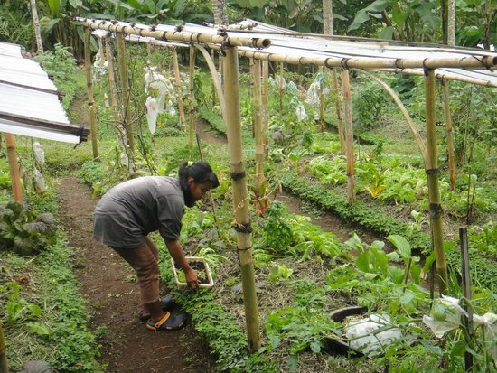 Bali Eco Stay Bungalows: Vegetable and fruit garden