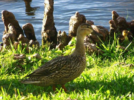 Gatorland: ducklings