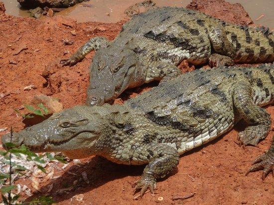 Reserve De Bandia: Crocodiles