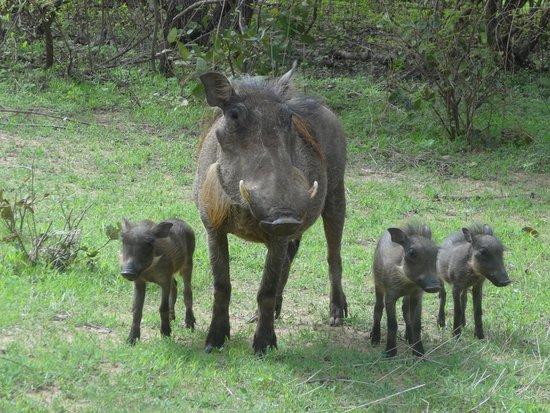 Reserve De Bandia: Phacochères