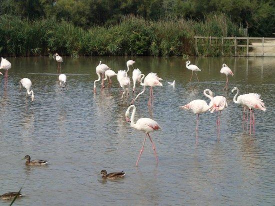 Le Parc Ornithologique de Pont de Gau : flamant rose