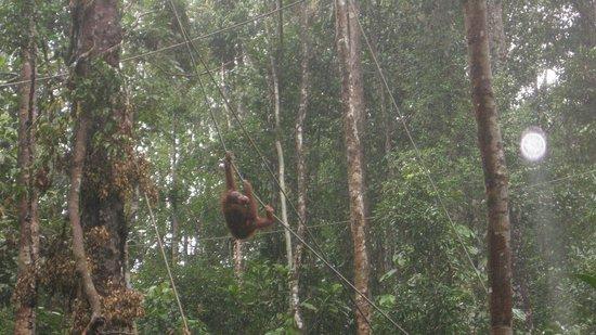 Semenggoh Nature Reserve: Rope-A-Dope