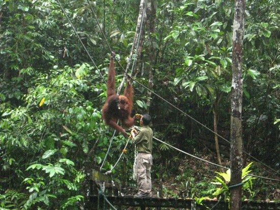 Semenggoh Nature Reserve: The Kuching Swing