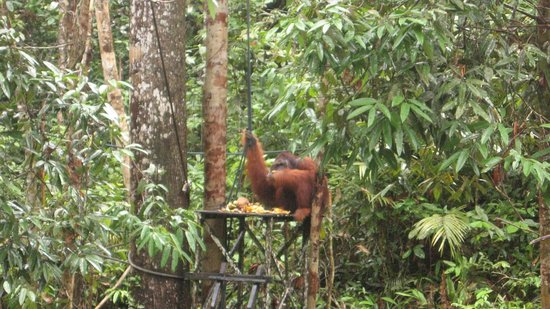 Semenggoh Nature Reserve: Feeding Frenzy
