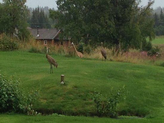 Crane's Rest B&B: Red Crans in backyard