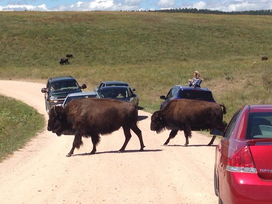 Custer State Park : Buffalo Blockades are common