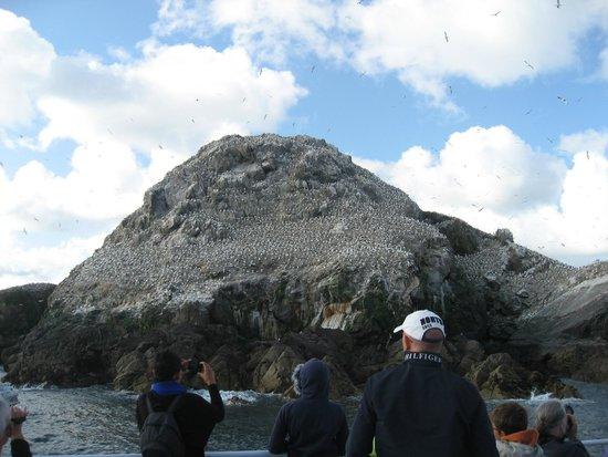 Réserve Naturelle des Sept Îles : Des milliers de Fous de bassans