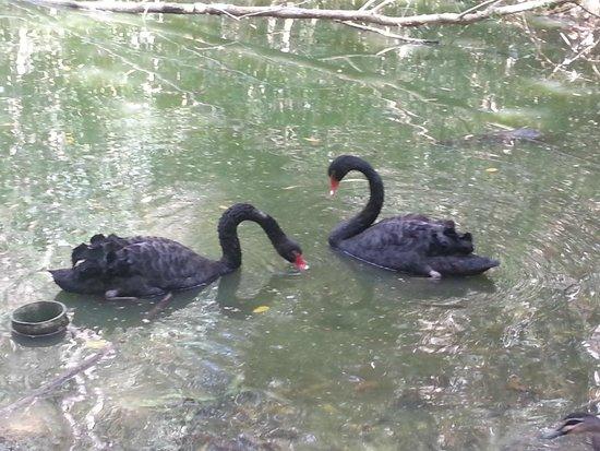 Hartley's Crocodile Adventures: Black swan?