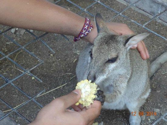 Hartley's Crocodile Adventures: Kangaroo feeding