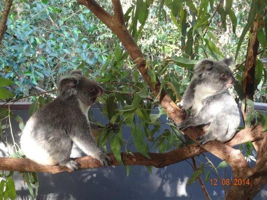 Hartley's Crocodile Adventures: Koalas