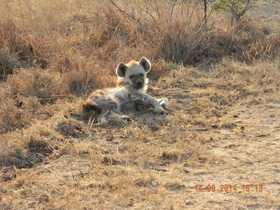 Satara Rest Camp: Hyena