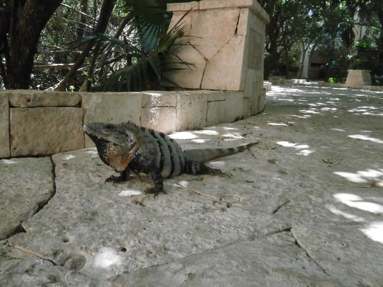 Catalonia Royal Tulum : Iguana, la encontrábamos a la mañana cuando íbamos a desayunar