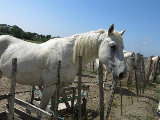 Le Petit Train Camarguais : un cheval qui a slué le petit train sur son passage