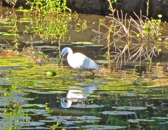 Kellys Beach Resort : Wetlands wildife - egret fishing