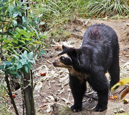 AMARU Bioparque Cuenca Zoologico: Andean Bear