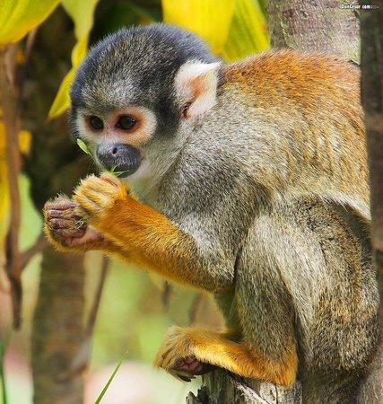 AMARU Bioparque Cuenca Zoologico: Squirrel Monkey