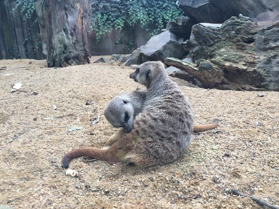 Zoo des Sables d'Olonne : Suricates