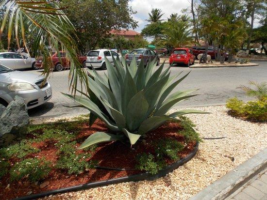 Tamarijn Aruba All Inclusive: Aloe plant