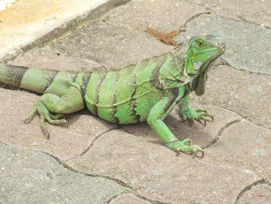Tamarijn Aruba All Inclusive: Iguana