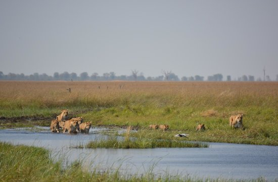 andBeyond Savute Under Canvas: Lions crossing river